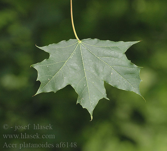 Acer platanoides nar yaprakl ak aa a - Arce platanoide ...
