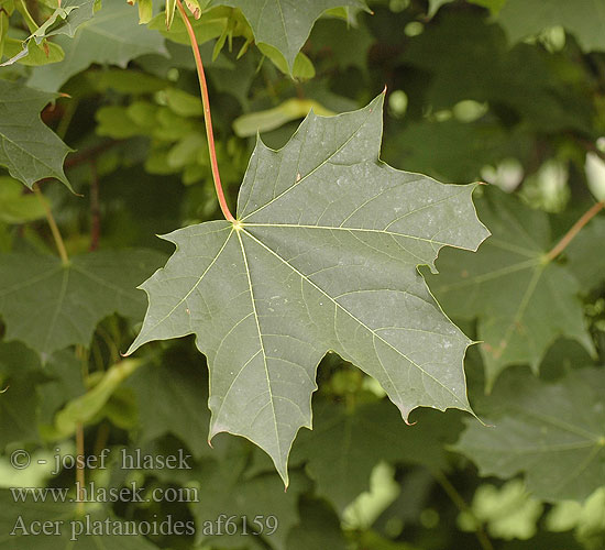 Acer platanoides image 150 - Arce platanoide ...