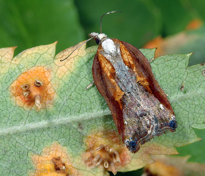 Acleris cristana Rufous-margined Tufted Button Moth