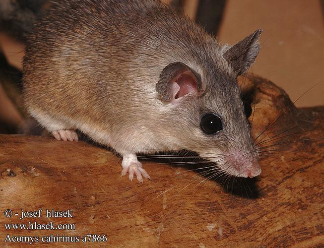 Каирская мышь
