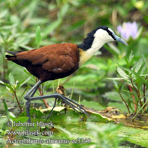 """レンカク アフリカ """"イクメン水鳥""""レンカクの子育て風景。浮草の上をひな鳥と歩く優美な姿に「頑張れ父ちゃん」「水の上の楽園か…」"""