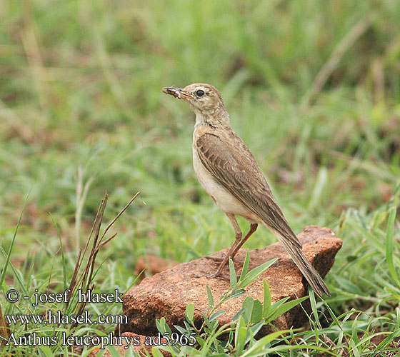 Anthus leucophrys Plain-backed Plain Plainbacked Pipit Afrikansk