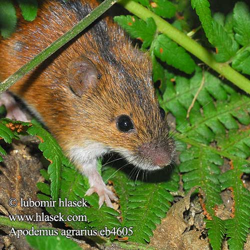 Apodemus agrarius Striped Field Mouse Brandmaus