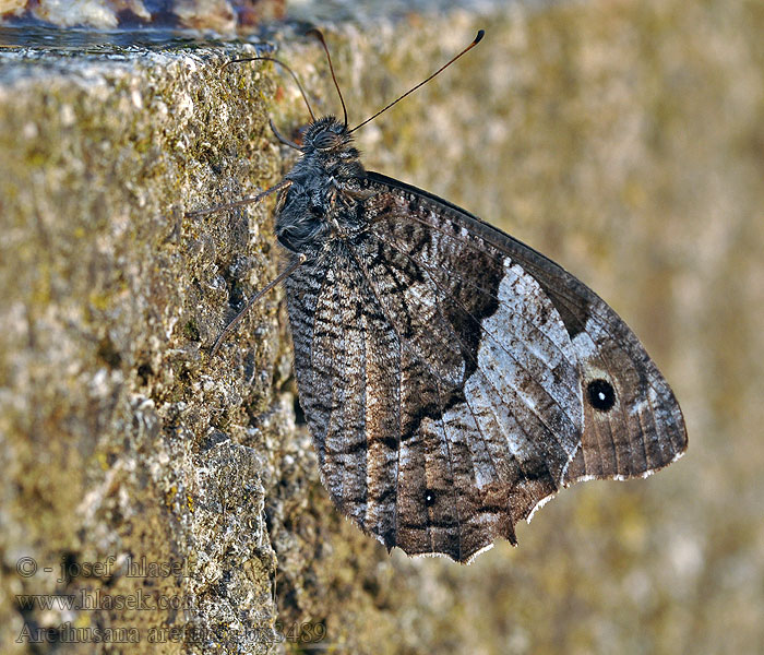 False Grayling Arethusana arethusa