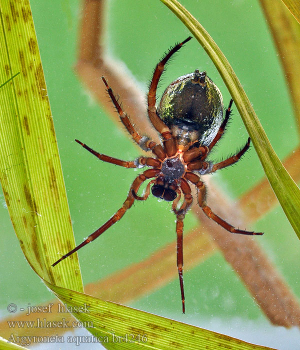 Argyroneta aquatica Waterspin Water spider