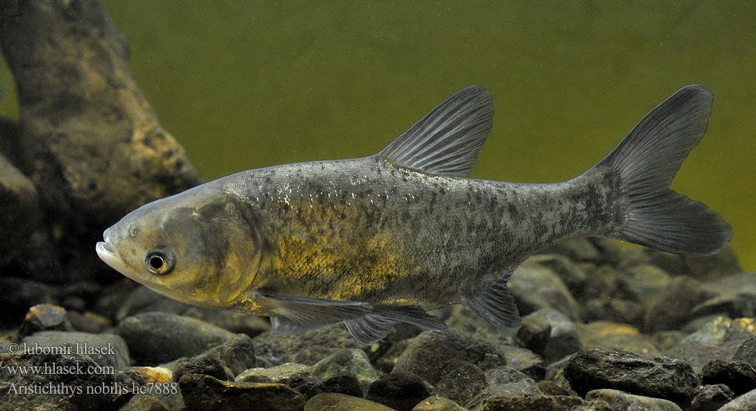 Aristichthys nobilis Hypophthalmichthys Bighead carp