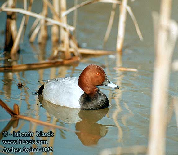 Common pochard male