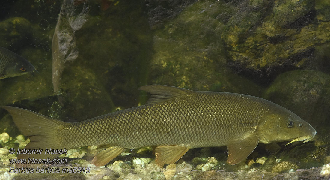 Barbus barbus Common Barbel Parma obecná