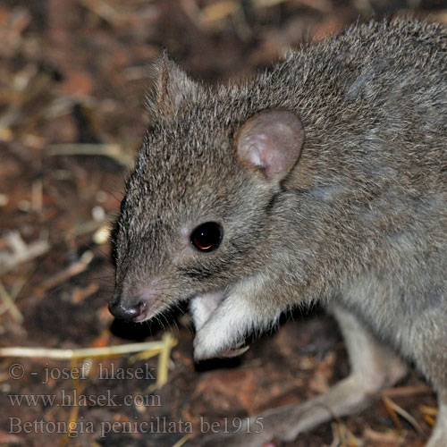 Bettongia penicillata be1915