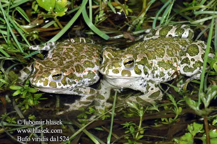 青蛙和蟾蜍可以杂交么