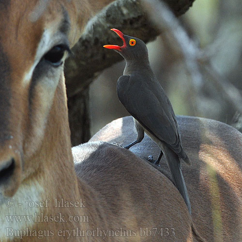 Buphagus erythrorhynchus erythrorhynchos Red-billed Oxpecker