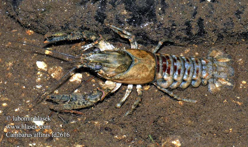 Cambarus affinis Orconectes limosus Astacus Spiny-cheek crayfish