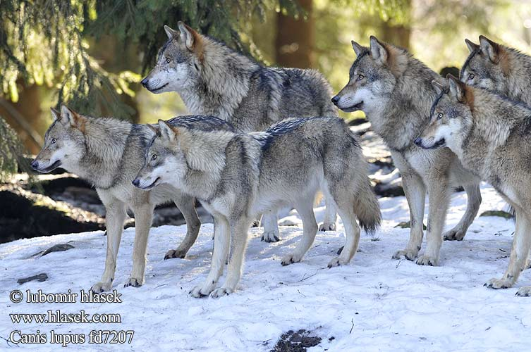 Minden Pictures stock photos - Gray Wolf (Canis lupus) group ...