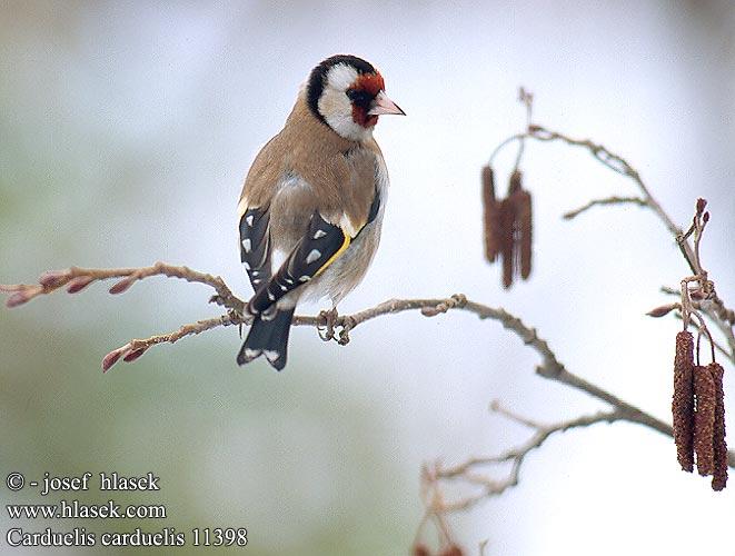 Pintassilgo e sub- espécies Carduelis_carduelis_11398