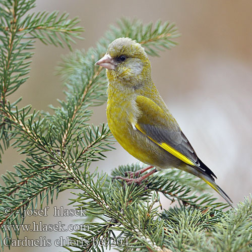 Greenfinch Grünling Grünfink Verdier Europe