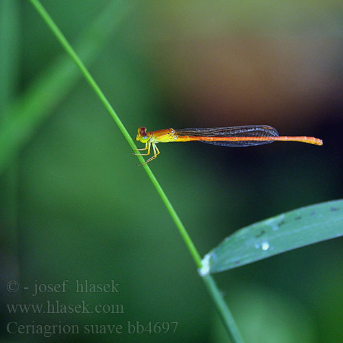 Ceriagrion suave bb4697