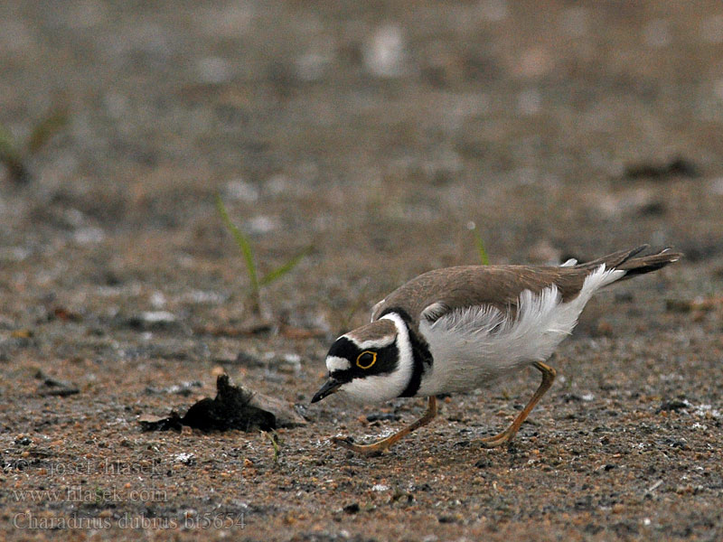 Charadrius dubius Little Ringed Plover