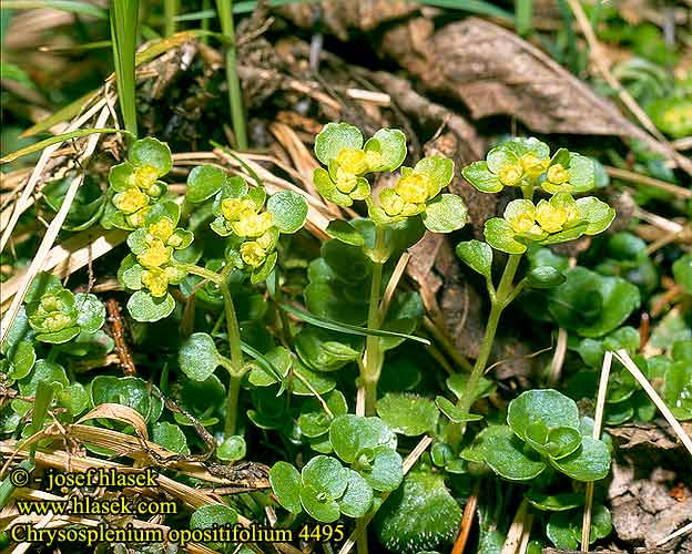 Chrysosplenium opositifolium Opposite-leaved Golden-saxifrage