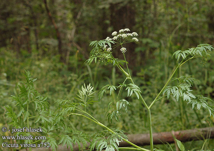 [Plantes Sauvages] La grande berce Cicuta_virosa_a752