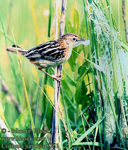Cisticola juncidis Zitting Cisticola Fan-tailed Streaked fantail Warbler