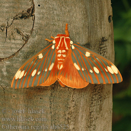 Citheronia regalis Regal moth Royal Walnut Hickory-Horned Devil Gehoornde Hickoryduivel