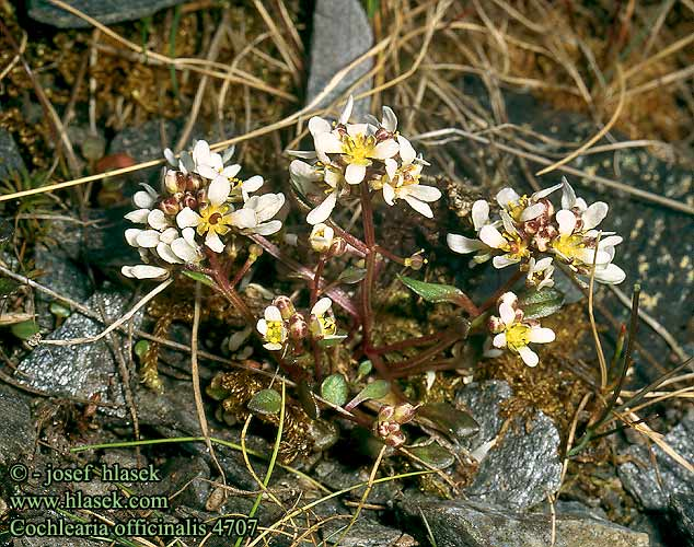Cochlearia officinalis Common Scurvy-grass Lage-kokleare