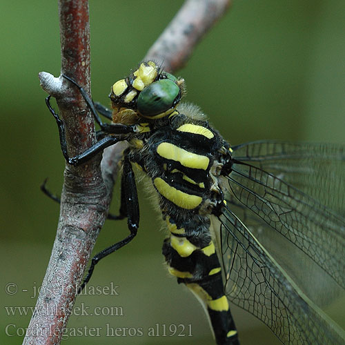 Cordulegaster heros Balkan Goldenring Large golden-ringed dragonfly Große Quelljungfer Balkanbronlibel Veliki studenčar Kétcsíkos hegyi szitakötő Pásikavec Klinovka Páskovec velký Libellula eroe Calul dracului Planinski potočar