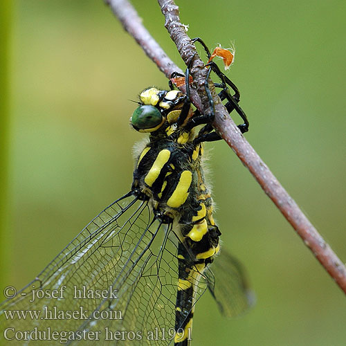 Balkan Goldenring Large golden-ringed dragonfly Große Quelljungfer Balkanbronlibel Veliki studenčar Kétcsíkos hegyi szitakötő Pásikavec Klinovka Páskovec velký Libellula eroe Calul dracului Planinski potočar Cordulegaster heros