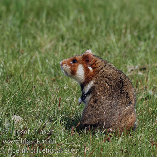 Europeisk hamster