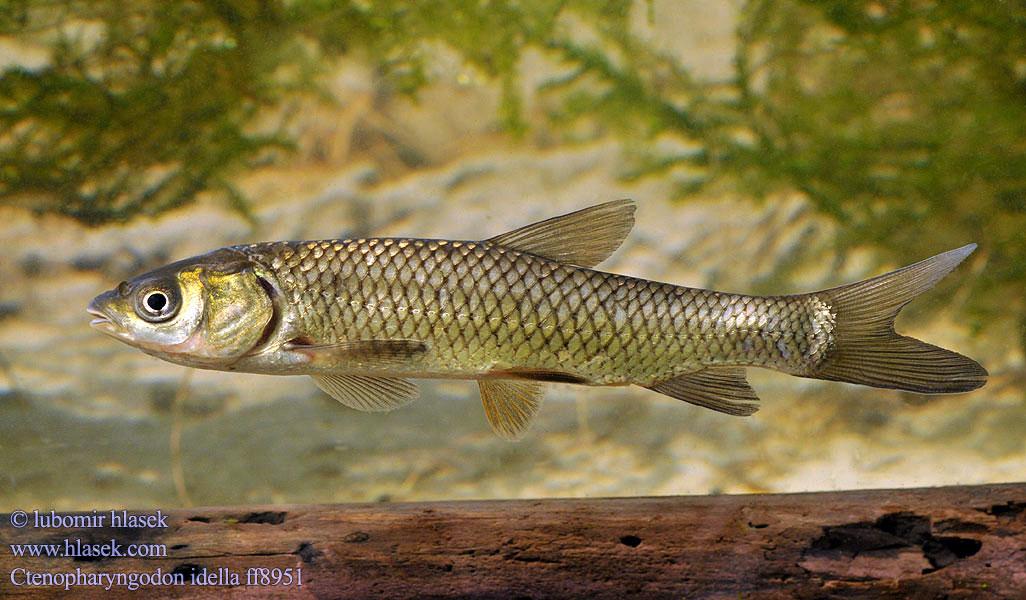 Amur Bialy Graskarpfen Ca Trắm Cỏ Bilij Amur Shidnoaziatskij ปลาเฉา