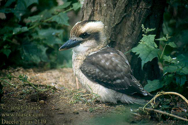Звук Кукабарра Птица