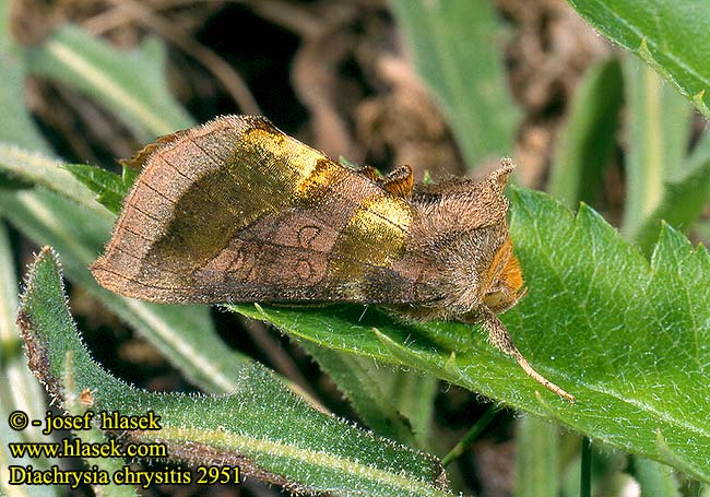 Diachrysia chrysitis Burnished Brass Messingeule