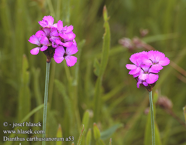 Dianthus carthusianorum Carthusian Pink Kartheuser-Nellike
