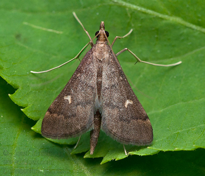Long-legged China-mark Dolicharthria punctalis
