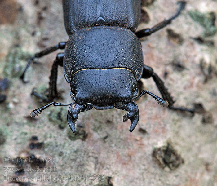 Dorcus parallelipipedus Bøghjort ミワオオクワガタ