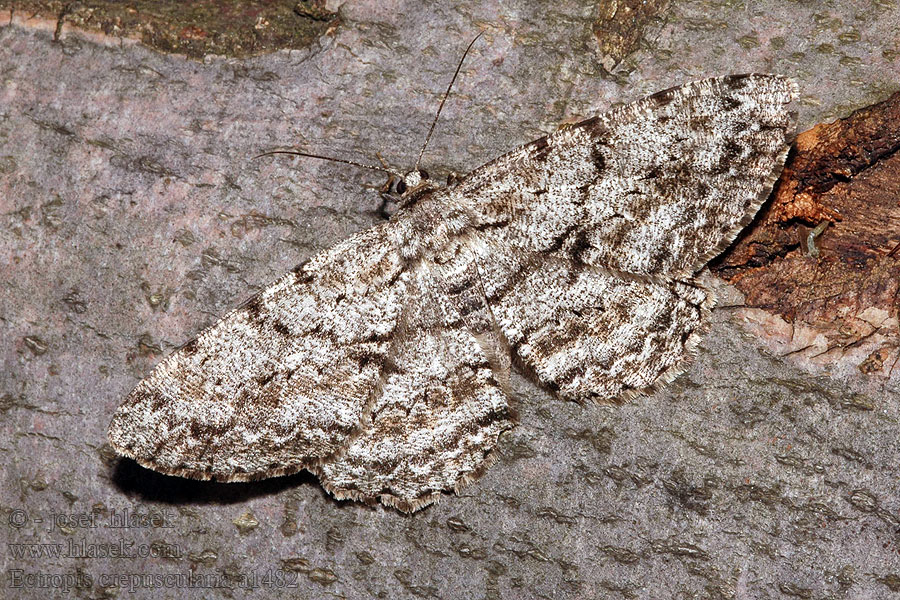 Ectropis crepuscularia Small Engrailed