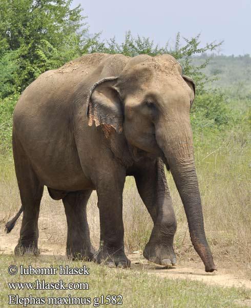 Asiya Fili Aziyacki Slon Olifant Azia Elefant Asiatic Eliffant