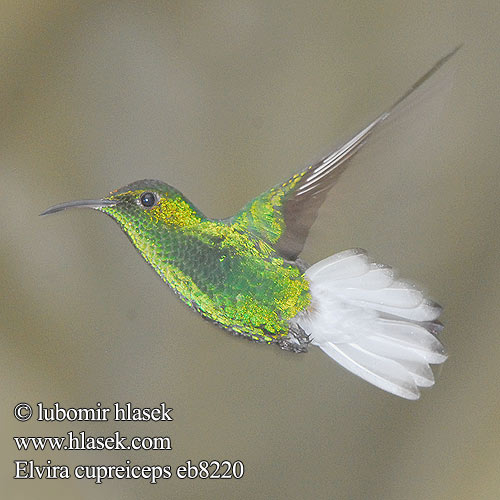 Colibri tête cuivrée testa rame Smeraldo testarame ドウボウシハチドリ Koperkop-smaragdkolibrie Kobberkronekolibri Diamencik kostarykański Elvira cupreiceps Kolibřík měděnohlavý Kobberisset Smaragd Bronzekopf-Elvirakolibri Kupferköpfchen Coppery headed Emerald Coppery-headed Esmeralda Capirotada Cabeza Dorada coronilla cobriza Kuparitaskukolibri