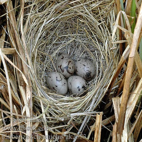 eggs nest Emberiza schoeniclus Reed Bunting Rohrammer Bruant roseaux