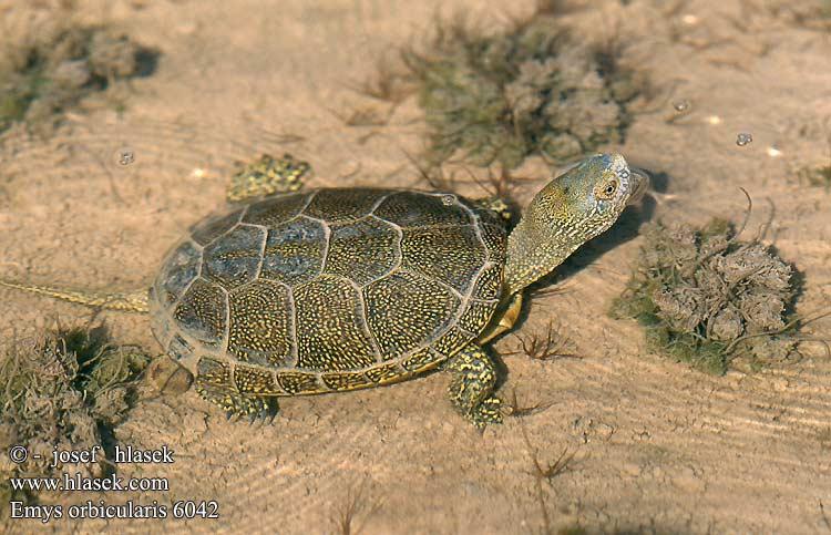 Tortugas Emydidae  Emys_orbicularis_6042