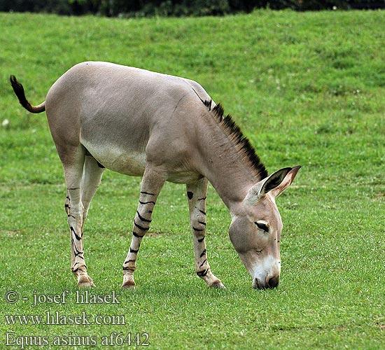equus asinus af6442