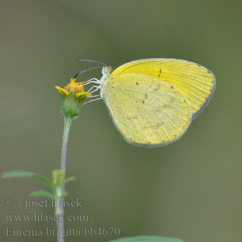 ホシボシキチョウ Eurema brigitta Small Grass Yellow