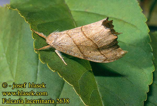 Falcaria lacertinaria Scalloped Hook-tip
