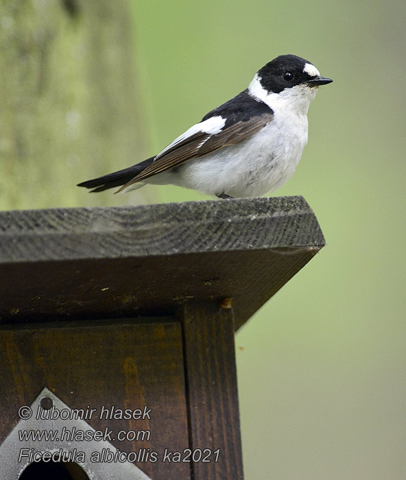 Ficedula albicollis Collared Flycatcher