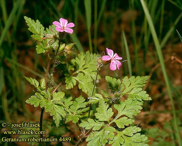 نبات إبرة الراعى geranium_robertianum_4489.jpg