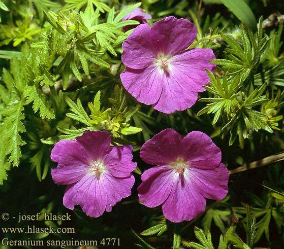 geranium_sanguineum_4771.jpg