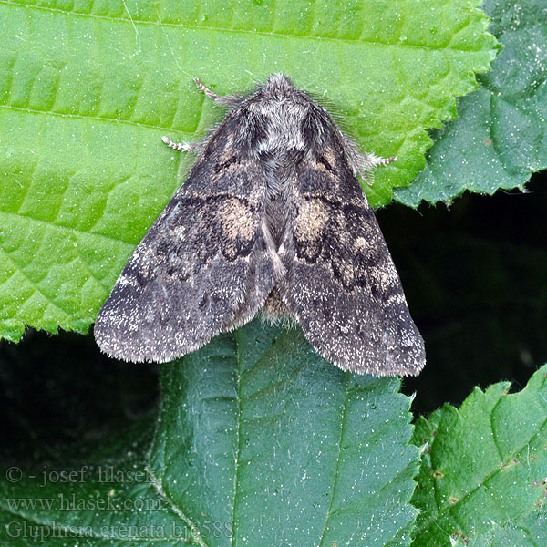 Vecklarspinnare Gluphisia crenata Dusky Marbled Brown
