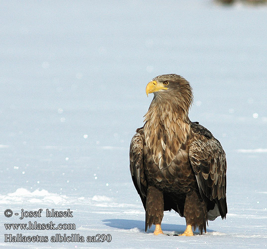 Haliaeetus albicilla White-tailed Eagle