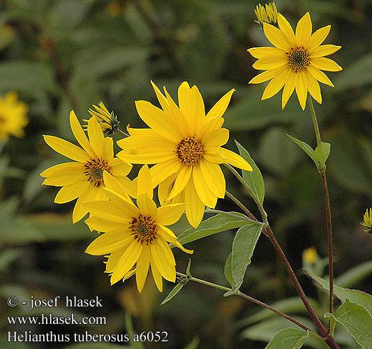 Topinambur-Helianthus tuberosus Helianthus_tuberosus_a6052