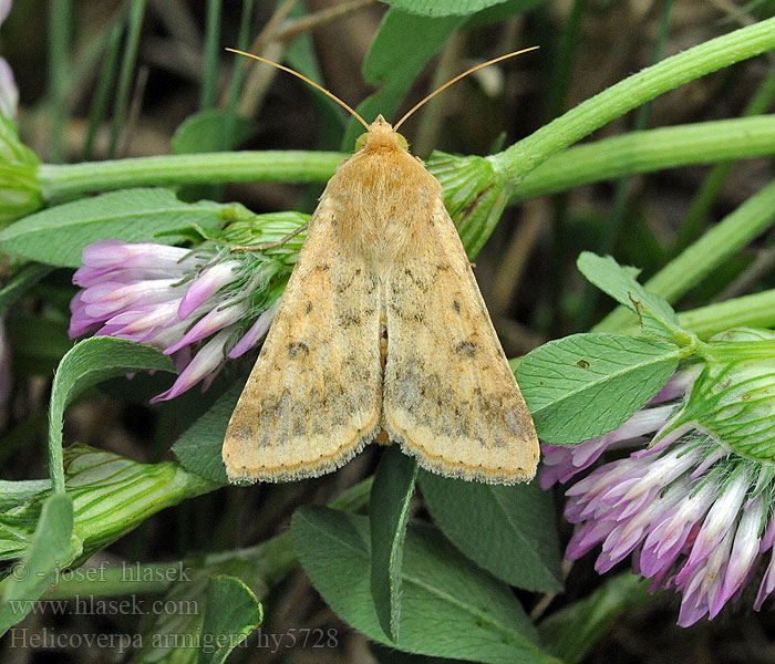 Scarce Bordered StrawHelicoverpa armigera